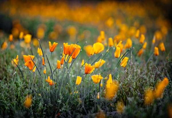 Mexican Poppy Field